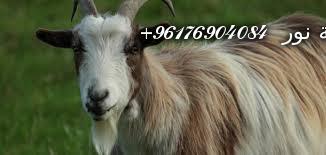 صورة بعض الحيوانات التي تستخدم في السحر(الماعز)-أقوى شيخة روحانية نور 0096176904084