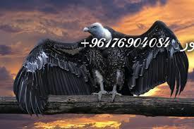 صورة بعض الحيوانات التي تستخدم في السحر(النسور)-أقوى شيخة روحانية نور 0096176904084