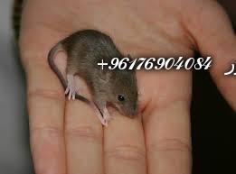 صورة بعض الحيوانات لعمل السحر بأنواعـه(الفئران)-أكبر وأعظم شيخة روحانية في العالم نور الصادقة0096176904084
