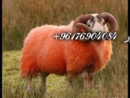 صورة بعض الحيوانات التي تستخدم في السحر(الكباش)-أقوى شيخة روحانية نور 0096176904084