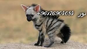 صورة بعض الحيوانات التي تستخدم في السحر(الضباع)-أقوى شيخة روحانية نور 0096176904084
