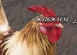 صورة بعض الحيوانات التي تستخدم في السحر(الديوك)-أقوى شيخة روحانية نور 0096176904084