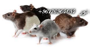 صورة تفسير حلم رؤية الفأر في المنام-اصدق شيخة روحانية نور 0096176904084